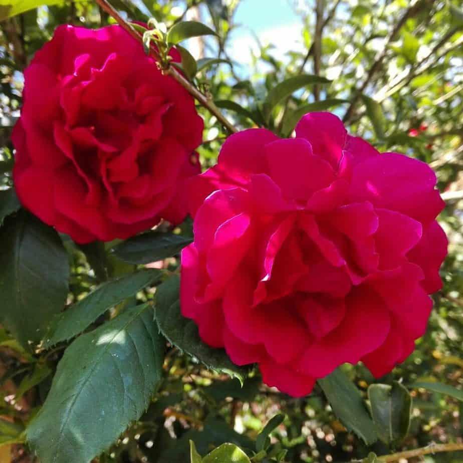 jabón natural y artesanal de rosa desecados cultivados por nosotros