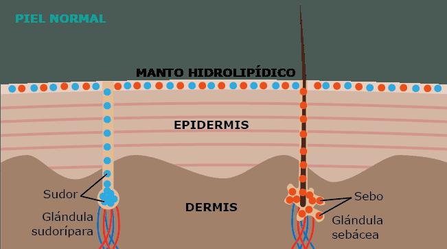 Manto hidrolipídico de la piel y el jabón natural pH neutro